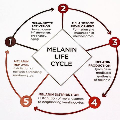 Melanin Life Cycle